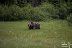 Grizzly - Emilien Grn Photographie