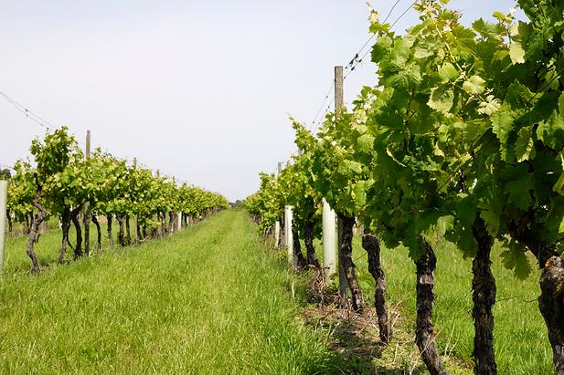 vineyard canva.png