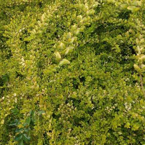 Green Leaves by Eddie