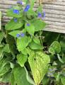 ANNA BLUE FLOWER.jpg