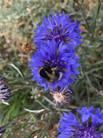 JULIE CORNFLOWER AND BEE