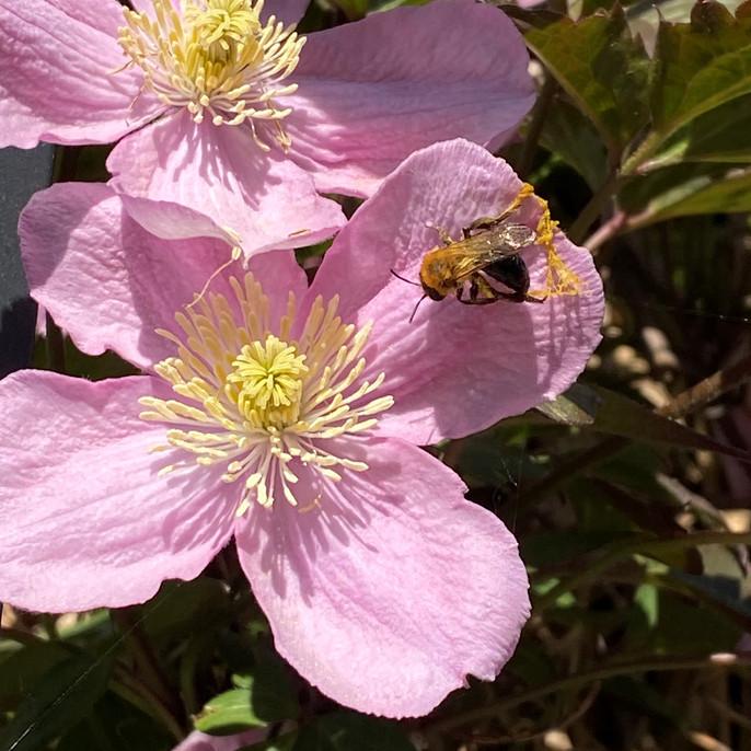 DAN 22-4 BEE ON FLOWER.JPG
