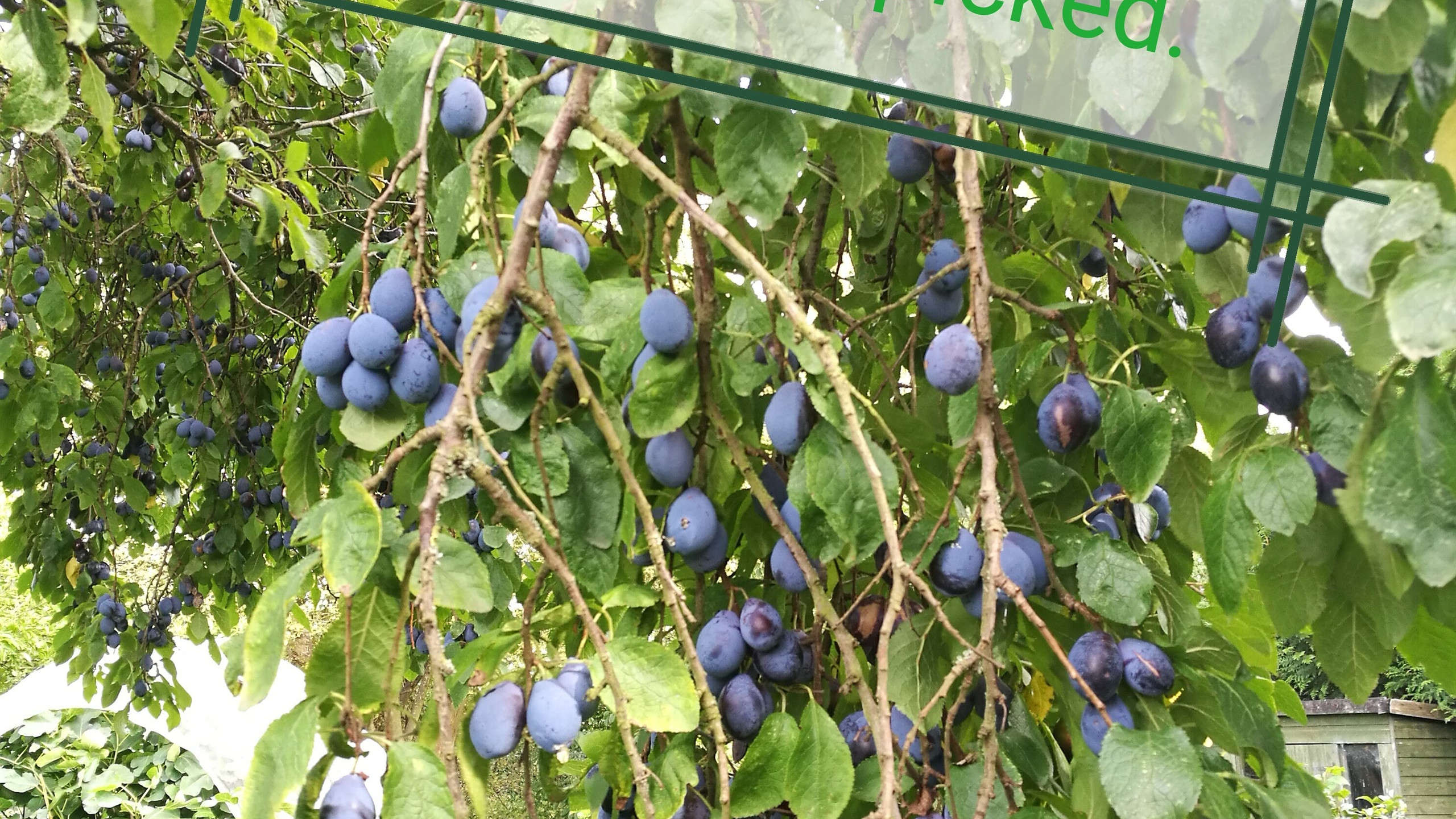 Damsons waiting to be picked