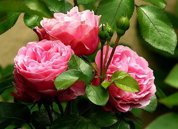 Rose 3%