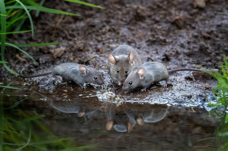'Wood Mice with Reflection' by Hugh Wilkinson
