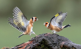 'Goldfinches Aggressive Display' by Hugh Wilkinson - 4th Place