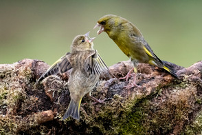 'Greenfinch with Fledgling' by Hugh Wilkinson - Highly Commended