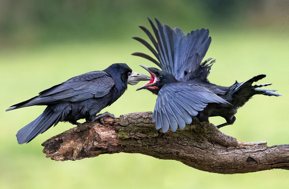 'Rook feeding Juvenile' by Hugh Wilkinson - 1st Place
