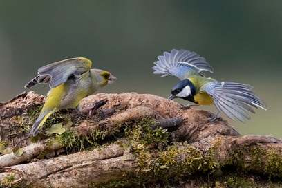 'Greenfinch and Great Tit' by Hugh Wilkinson - Highly Commended