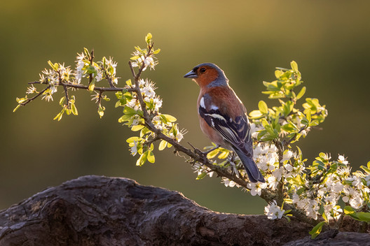 'Male Chaffinch' by Hugh Wilkinson - Highly Commended