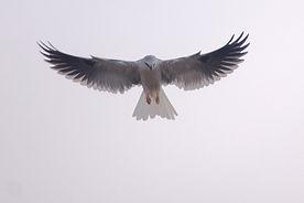 White-Tailed_Kite.jpg