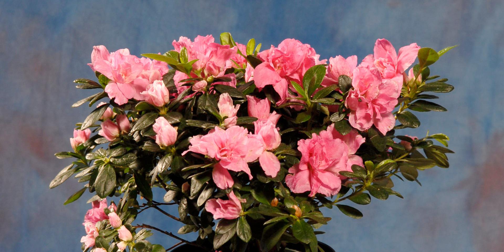 Azalea - Pink