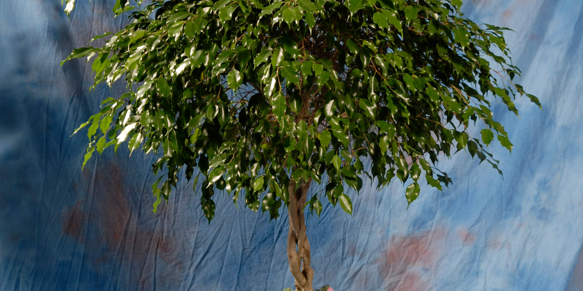Ficus Tree w/ Top Dressing