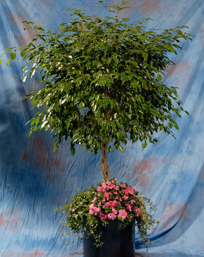 Ficus Tree w/ Top Dressing