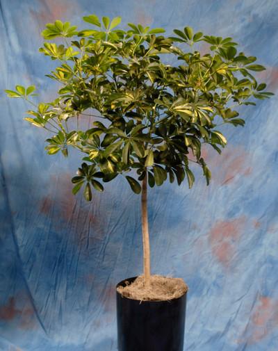 Arboricola Tree