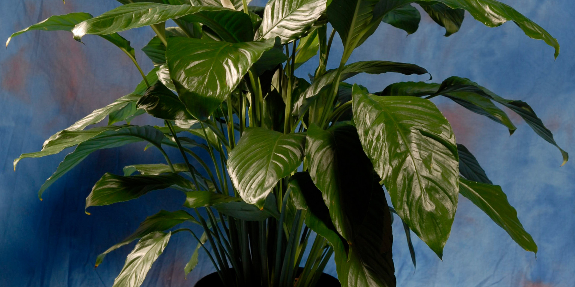 Spath Peace Lily