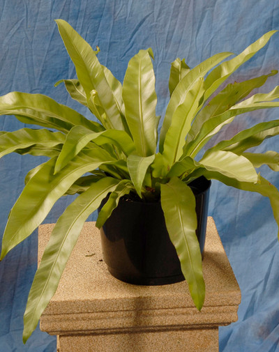 Birdsnest Fern Small
