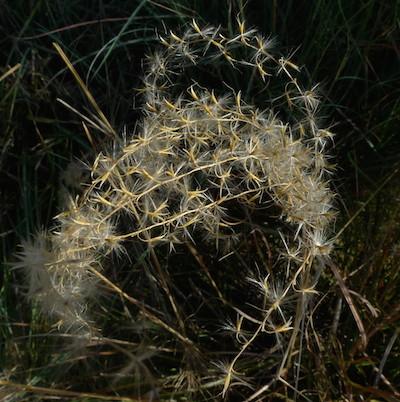 prickly crown