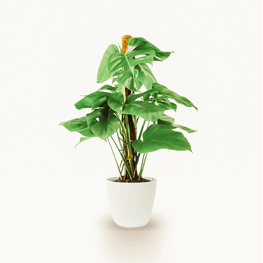 Pflanze für zu Hause