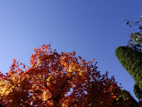 紅葉が降りてきました