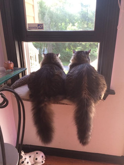 Mainecoon rescue cat Love