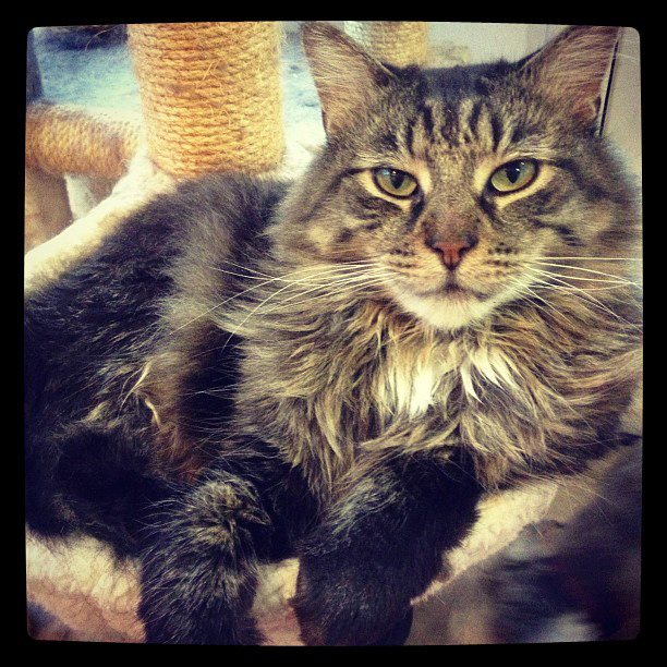 Maincoon Rescue Cta
