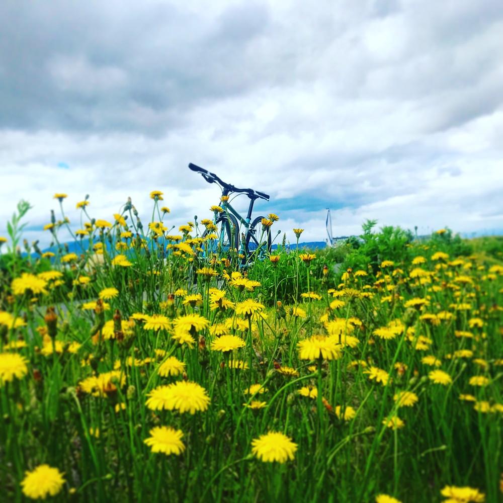 タンポポと自転車