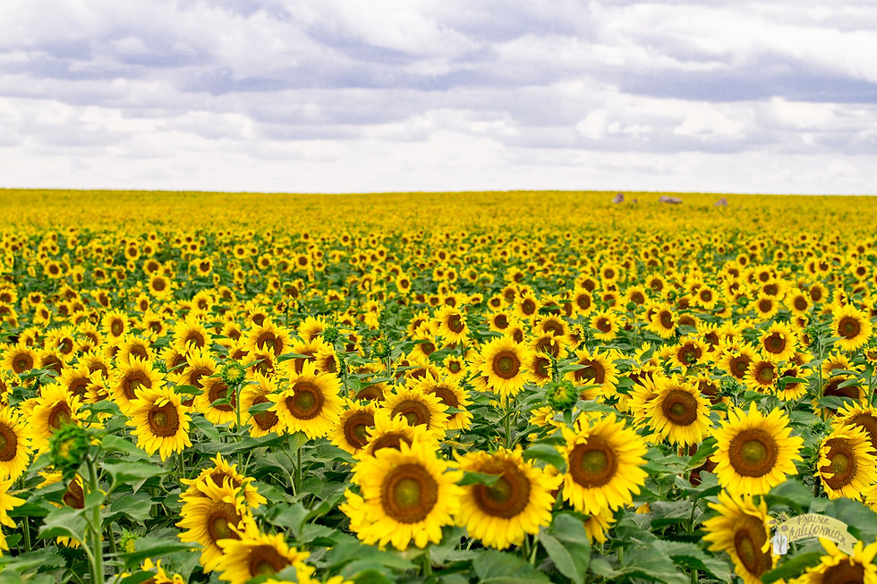 Sunflowers-2016-9.jpg