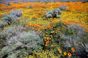 Super Bloom Antelope Valley
