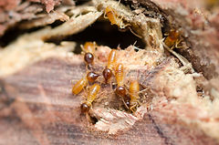 Termite attack - close up of termites .j