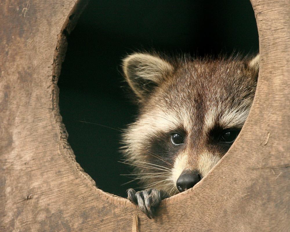 raccoon fear.jpg