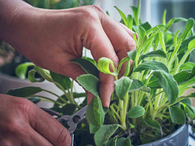 La salvia: un'erba aromatica antica utilizzata già dai romani dai 1000 usi, scoprili con noi!