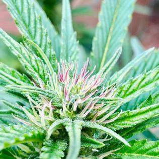 Purple Pistil Plant.jpg