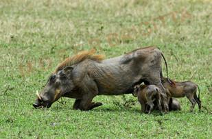 Warzenschwein mit Jungen.jpg