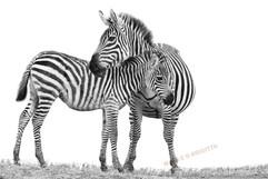2 zebras sw.jpg