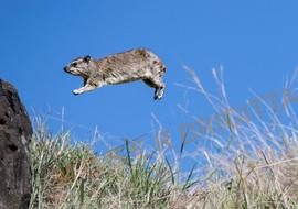 Klippschliefer springt.jpg