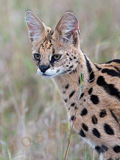 serval2 80x60.jpg