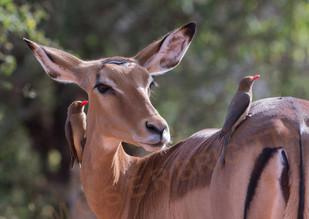 Impala mit madenhackern.jpg