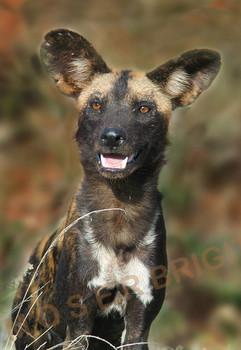 afrikanischer wildhund2.jpg