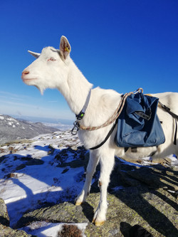 Ziegenwandern, Packziegen.