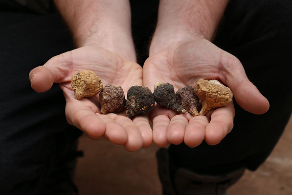 dried maca roots.jpg