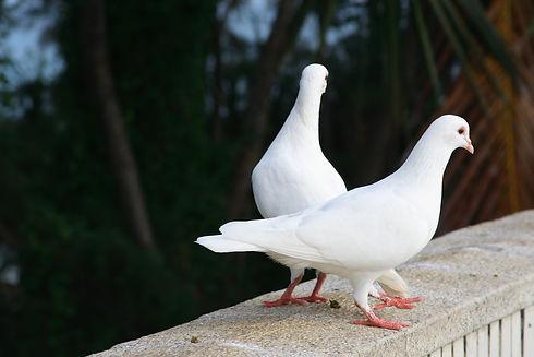pigeons-birds-couple-white-wallpaper.jpg