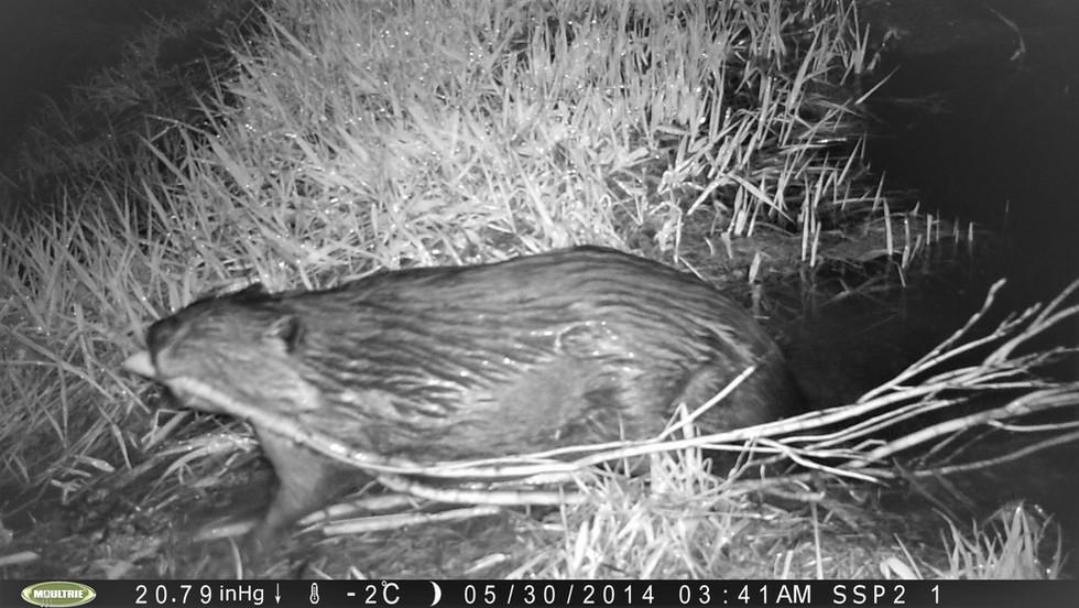 Beaver restoration