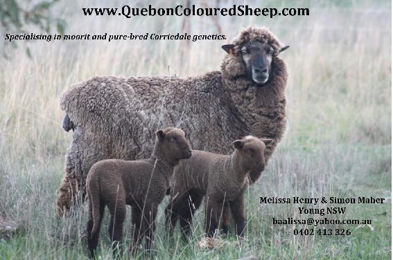 Quebon Coloured Sheep.jpg