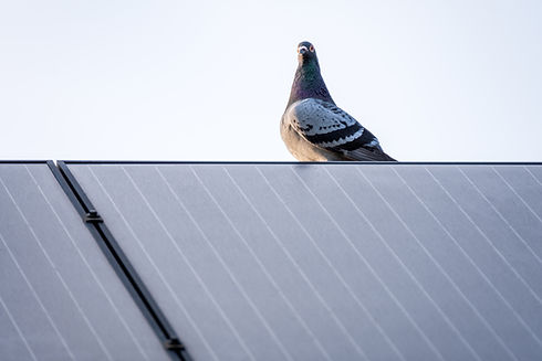 Racing pigeon resting on a solar panel a