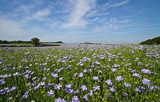campo-di-seme-di-lino-o-di-lino-fiore-14