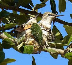 HummingbirdNest-JenniferBayha.jpg