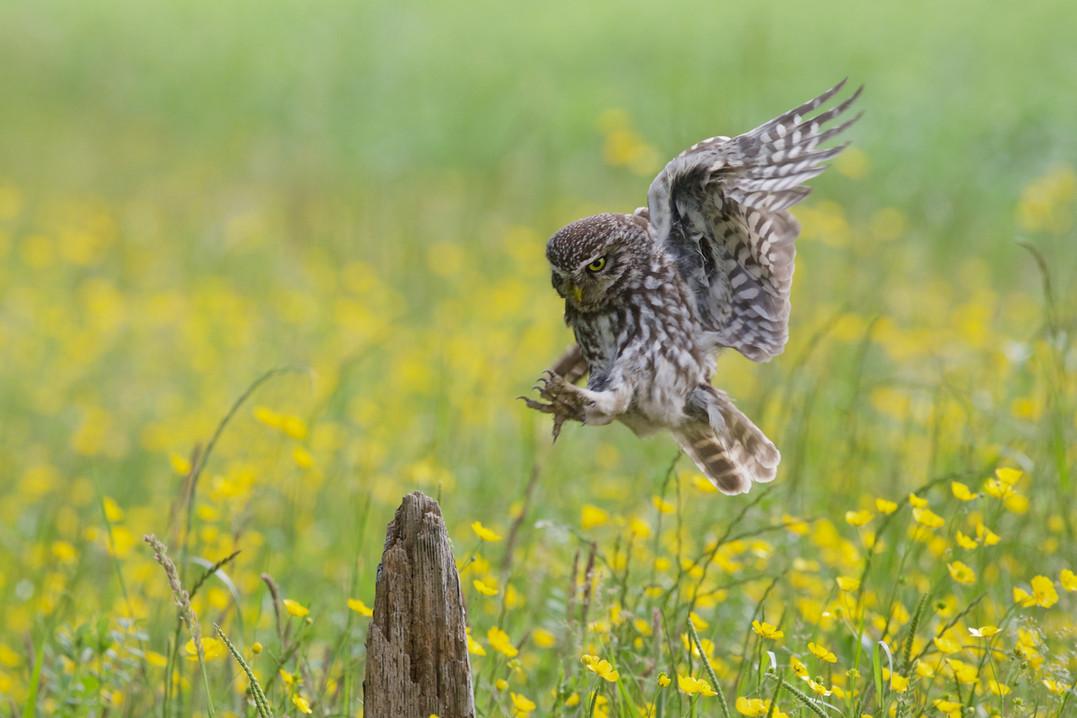 Owl Flight