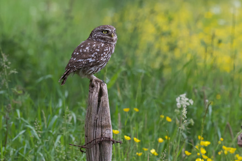 Little Owls 40460.jpg