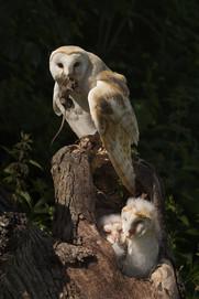 Owl-Wkshop 41427.jpg